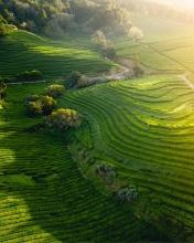 Cha tea fields - Azores (Portugal) - Drone trip