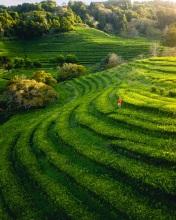 Cha tea fields - Azores (Portugal)