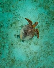Turtle - Indonesia - Drone photo