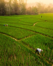 Lee 7 farm - Laos