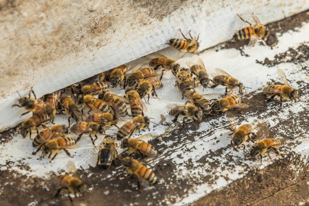 Dozen of brown bees