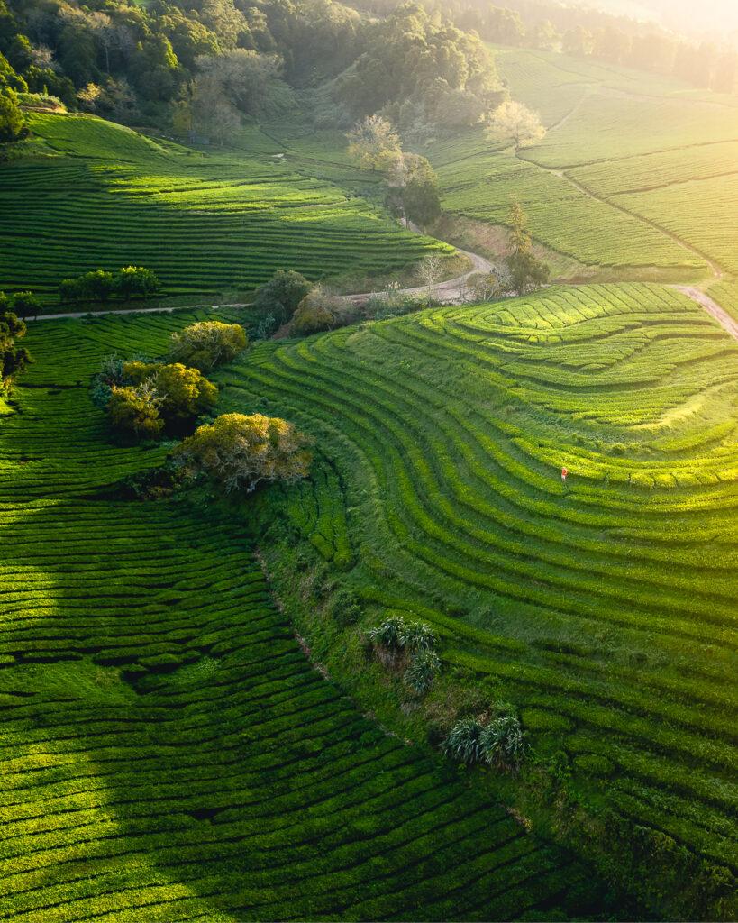 Tea plantation - Azores, Portugal